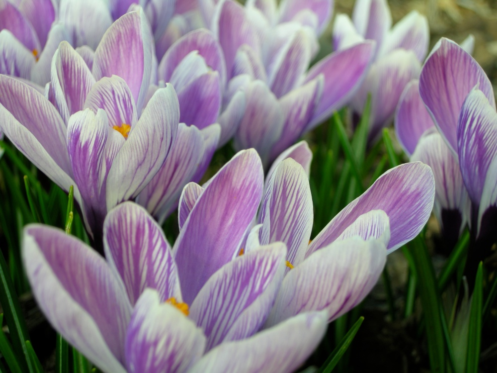 crocus grows in brooklyn